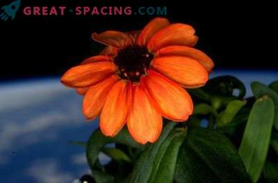 Zinnia blossomed aboard the ISS